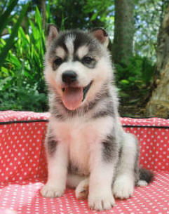 Cute Home Raise Siberian Husky Puppies Ready To Go