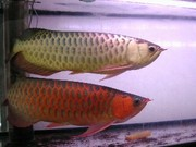 get an Asian Arowana