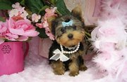 STUNNING & SMALL MALE YORKIE PUPPS AVAILABLE
