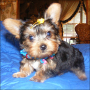 Cute Yorkshire Terrier Puppy For New Family