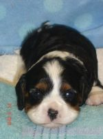 CAVALIER KING CHARLES SPANIEL FOR ADOPTION