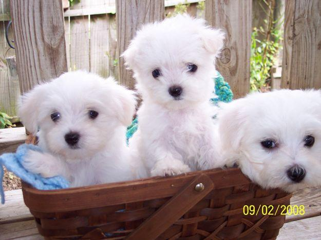 maltese puppies for free adoption - Dogs for sale, puppies for sale
